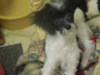 DARLING TOY POODLE PUPPY, he is 3 1/2 mths