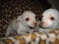 Male Chihuahua puppy. sold the boy. FeMale Chihuahua