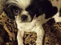 Black & white, female Shih tzu with a heart on her