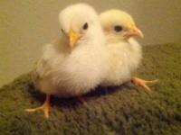 serama chicks tiniest chicken on the planet - $15. I'm