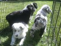 Super smart and very healthy puppies available for