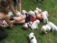 Smart English Bulldog Puppies male and female puppies