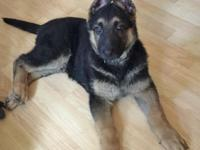 Handsome German Shepherd puppy born May 25, 2015, and