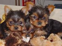 two lovely baby Teacup Yorkie puppies ready for any