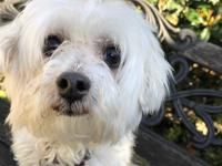 Smarty is a senior Maltese looking for a retirement