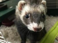 This adorable ferret is Smink! She was brought to