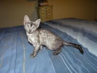 Twilight is a smoke egyptian mau kitty that welcomes