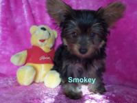 Come and meet the most handsome little male yorkie
