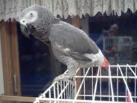 This is Smokey! Smokey is a male African Grey. He will
