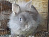 Smokey is a lionhead .5 months old. very beautiful