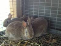 Smokey Mtn Cottontails are bred to look and act just