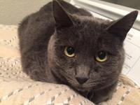Smokey Grey Domestic Short Hair Female 6 years old  10
