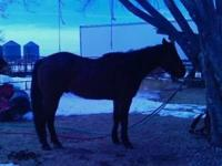 Buddy is a coming 5 year old bay roan gelding. He came