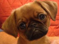 Cute Smooth Brussels Griffon male puppy for sale.