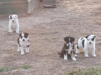 6 week old border collie puppies. We have both parents,