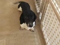 black piebald smooth coat male dachshund. D.O.B