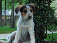 Smooth Fox Terrier - Monkey-marvyn - Medium - Young -