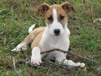 Smooth Hair Collie Mix Puppy Looking For A Home!