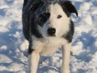 CueB (Q-Bee) is a smooth (short hair) border collie.