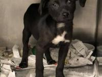 Smudge (2140) is a 10 week old, spayed female, Labrador