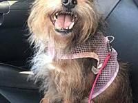 Snaggles's story Snaggles is a 4-5 year old yorkie mix,