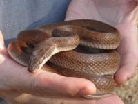 Snake - Cameron - Medium - Adult - Female - Scales,