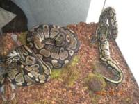 2 ball pythons for sale... asking $200.00 obo...for all