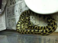 I have some different types of ball pythons, redtail