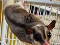 SUGAR GLIDERS ** Available as of January 2018 ** 1 year