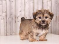 Snickers is Handsome, cuddly, shorkie!! He is super