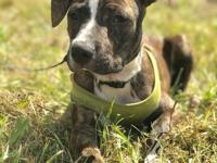 Snickers is a 9 mo old brindle, 40 lb mix breed pup. He