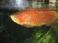 Premium super red and many other arowana species for