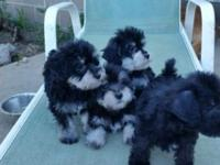 Poodle / Schnauzer pups. Non-shedding, hypoallergenic.