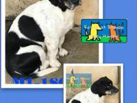 Cute little terrier mixSnoopy is heartworm positive and