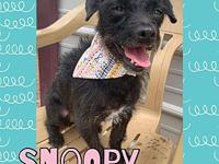 My story Snoopy is a 2-5 year old chi/terrier mix. She