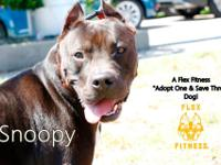 Snoopy is a fabulous pittie in foster care with Maria