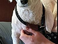 My story Snoopy is a 5 year old bichon from NJ. He is