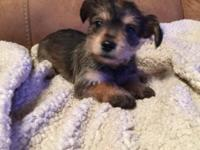 9 week old female snorkie half yorkie half schnauzer.