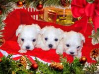 I have a litter of Snow White Maltese puppies, they are