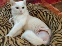 Snow Bell is a wonderful petite short haired all white