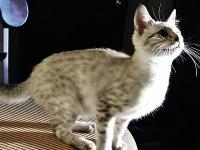 Beautiful 5 month old Bengal kitten. This child is