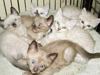 I have 6 GORGEOUS Bright Blue eyed Snow Bengal Kittens.