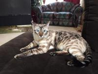 Beautiful Snow Bengal male young adult. Neutered,