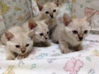 TICA Registered Bengal Kittens! 3 males available. SNOW