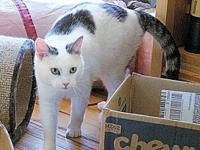 Snow's story Snow, DSH, Neutered male, vaccines