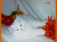 Lily is a dreamy white doll face Persian. She is a