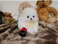 Snow White is a gorgeous micro teacup pom with gorgeous