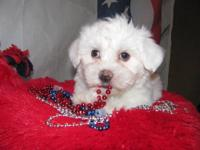 Max is a gorgeous,snow white Havanese male. He has big