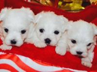 I have cute white Maltese puppies for you to adopt, you