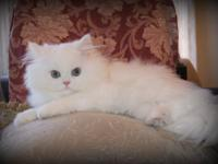 Snowwhite-persians is a small in home cattery. We